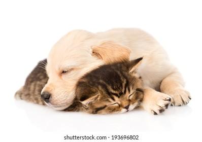 golden retriever puppy dog sleep with british kitten. isolated on white background