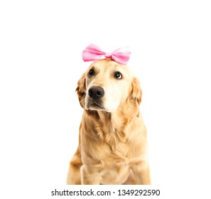 Golden retriever puppy dog wearing a pink ribbon against a white background