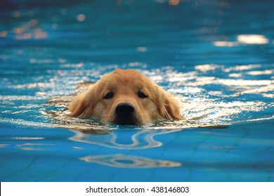 Golden Retriever Swimming Pool Images Stock Photos Vectors Shutterstock