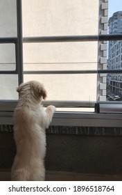 golden retriever puppy gazing outside