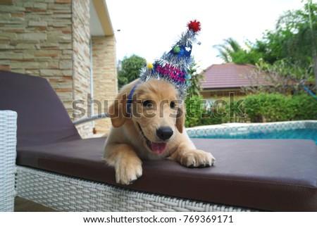 Golden Retriever Puppy Happy Birthday Hairband Stock Photo Edit Now