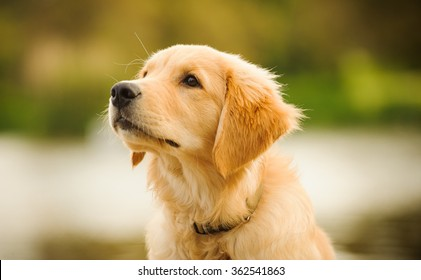 Golden Retriever puppy head shot
