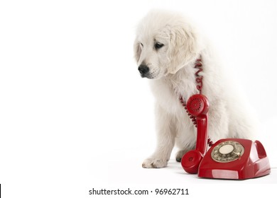 golden retriever puppy holding a red phone old