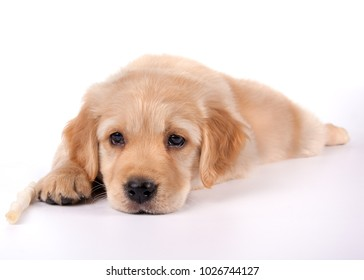 Golden Retriever puppy isolated on white