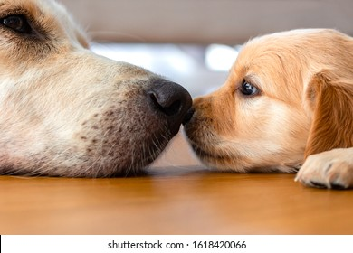 A golden retriever puppy laying on floor with its mother dog nose to nose.