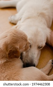 A golden retriever puppy laying on floor with its mother dog cuddling and biting each other
