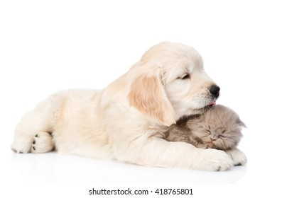 golden retriever puppy licking the kitten. isolated on white background.