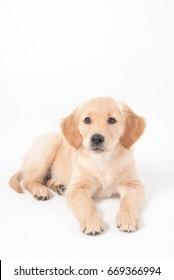 Golden retriever puppy lies on white ground