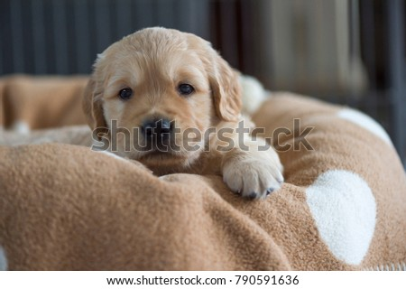 Golden Retriever Puppy Lying Basket Brown Stock Photo Edit Now