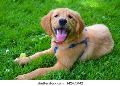 Golden Retriever Puppy Lying Down at the Park