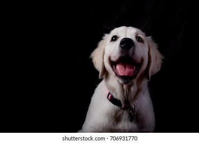 golden retriever puppy on a black background