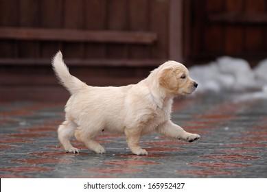 golden retriever puppy on the walk