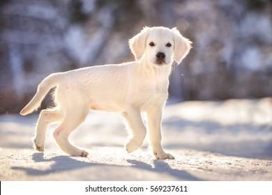 Golden retriever puppy outdoor on the snow in winter