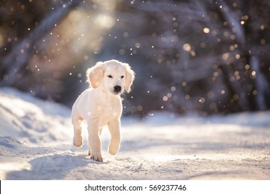 Golden retriever puppy outdoor on the snow in winter