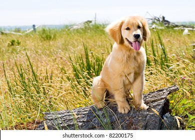 Golden Retriever Puppy Images Stock Photos Vectors Shutterstock