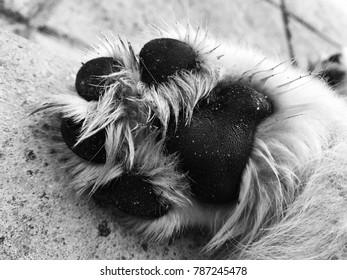 Golden retriever puppy paw