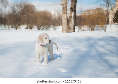 Golden retriever puppy playing in the park