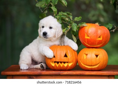golden retriever puppy posing with carved pumpkins