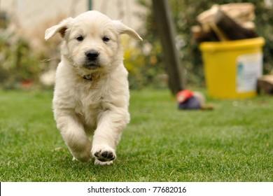 Golden retriever puppy run from front view