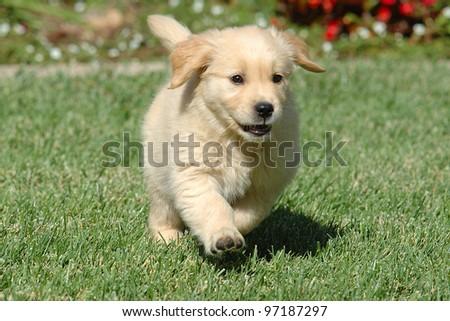 Golden Retriever Puppy Running Stock Photo Edit Now 97187297