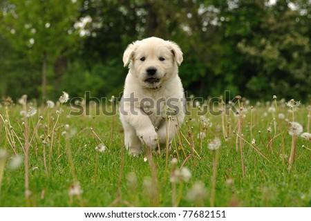 Golden Retriever Puppy Running Between Dandelions Stock Photo Edit