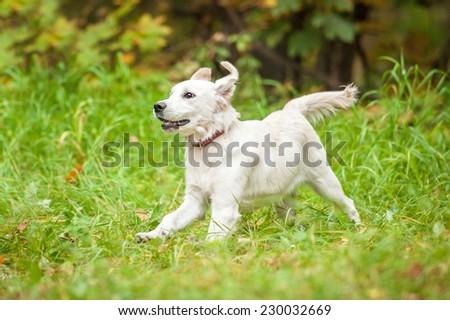Golden Retriever Puppy Running Grass Stock Photo Edit Now