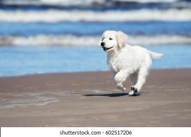 golden retriever puppy running on a beach