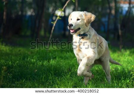 Golden Retriever Puppy Runs Over Meadow Stock Photo Edit Now
