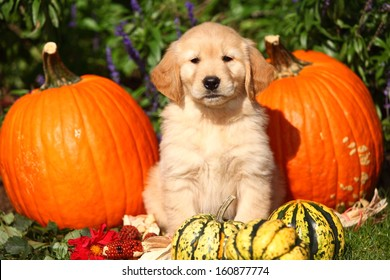 A Golden Retriever puppy sits among some pumpkins and gourds in this Autumn themed photo.