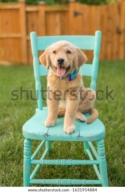 Golden Retriever puppy sits on a vintage chair outside in the yard
