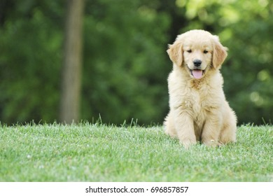 Golden Retriever Puppy Sitting in Green Grass Isolated