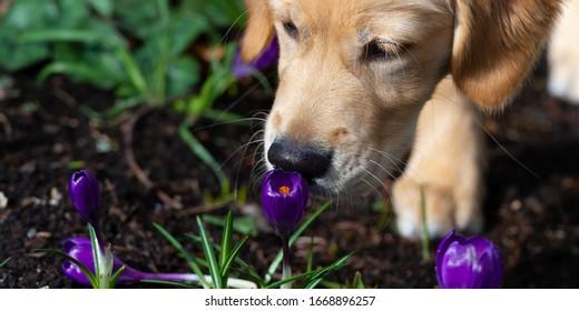 Golden Retriever puppy sniffing at a purple crocus. Close up. Header banner.