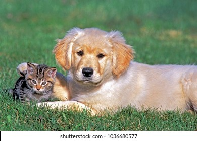 Golden Retriever puppy and tabby kitten together on grass