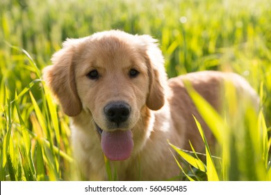 Golden retriever puppy with tongue out