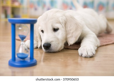golden retriever puppy watching at the hourglass and waiting for feeding