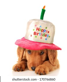 A golden retriever puppy wearing a happy birthday hat.