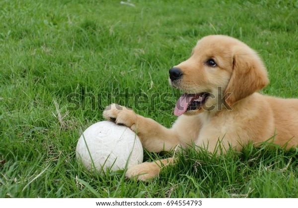 Golden Retriever Puppy White Ball Park Stock Photo (Edit Now