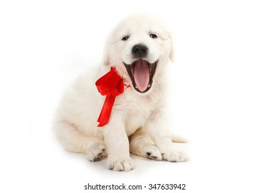 golden retriever puppy yawns (isolated on white)