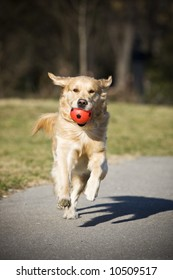 Golden retriever with red ball