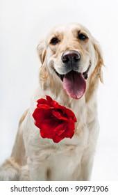 Golden Retriever with red flower