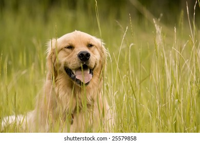 Golden Retriever Resting In Grass