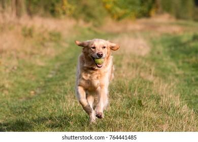 Golden Retriever retrieves ball in the autumn