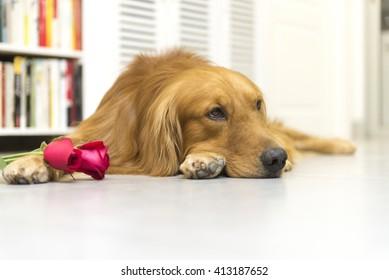 Golden Retriever and roses