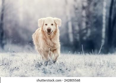 Golden Retriever run in frost