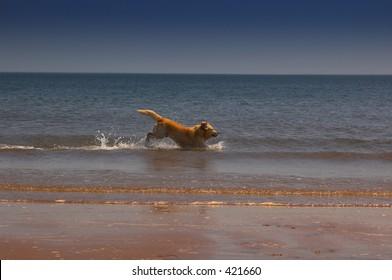 Golden retriever running along the surfline