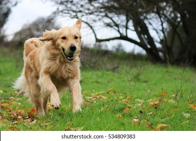 Golden Retriever Running in a Field with a Ball