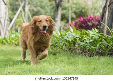 A golden retriever running on the grass