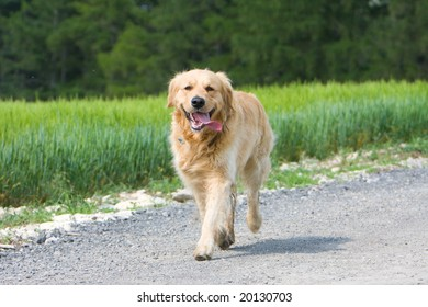 Golden retriever running on the way in front of the field