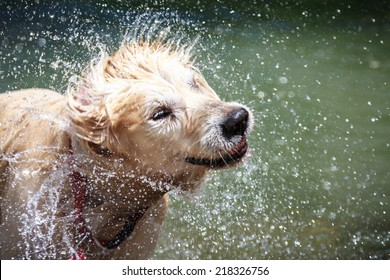 Golden Retriever shaking water