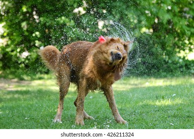 Golden retriever shaking of water in the park